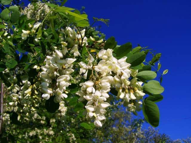 plantes mellifères robinier
