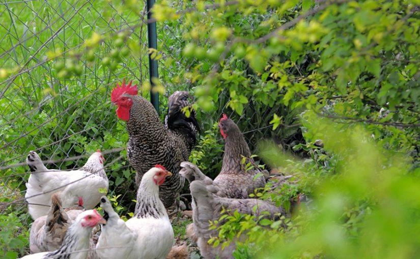L'idée du moment : associer poules et potager