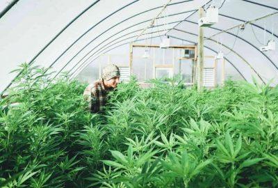 Comment cultive-t-on la fleur de CBD en greenhouse