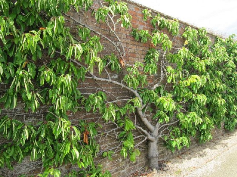 Quel arbre fruitier grimpant choisir pour mon jardin