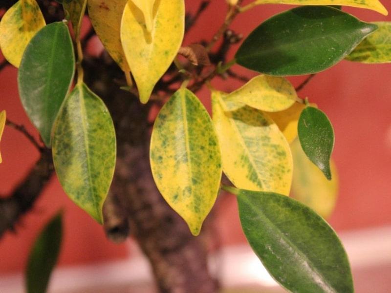 feuilles jaunes citronier