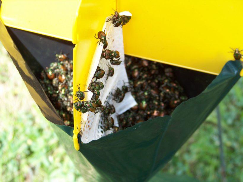 piège scarabées